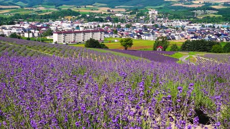 levandule : Flower garden of Furano