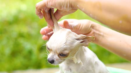 szampon : Slow motion Bathing Chihuahua dog in basin Wideo