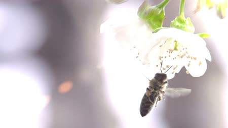 Slow Motion at a rate of 480 fps. Bee flower hangs in front of cherry and sits on it