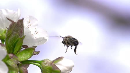Bee Collects Nectar from a Cherry Blossom and flies away. Slow Motion 480 fps Stock mozgókép