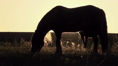 animais e animais de estimação : Grazing horse backlit setting sun. Motion at a rate of 240 fps