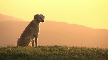 bekleme : Hunting dog sitting on top of a hill looking at the sunset. Slow Motion at a rate of 120 fps