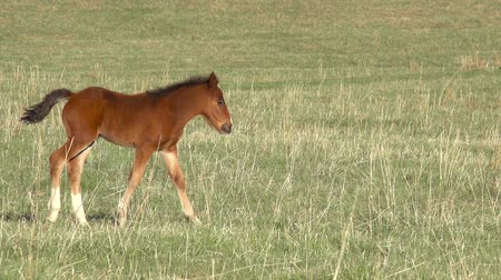 potro : Little foal walking on green spring meadow. Slow Motion at a rate of 240 fps
