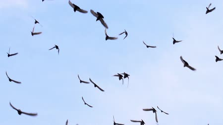 birds flying : A flock of birds against the sky. Gradually increasing the number of birds. Slow Motion at a rate of 480 fps Stock Footage