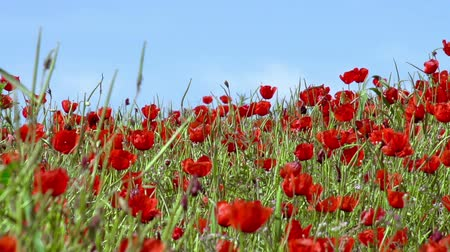 haşhaş : Poppies on a background of blue sky slowly sway in the wind. Slow Motion at a rate of 240 fps