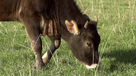 otlama : Calf grazing on a green spring meadow. Motion at a rate of 240 fps