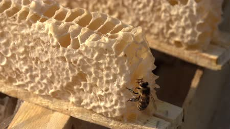 apiary : A bee collects honey from the honeycomb collected from the beehive