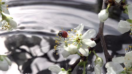 joaninha : Blossoming cherry branch bent to the water. Sits on a flower ladybug. Next falling raindrops. Slow Motion at a rate of 240 fps Stock Footage