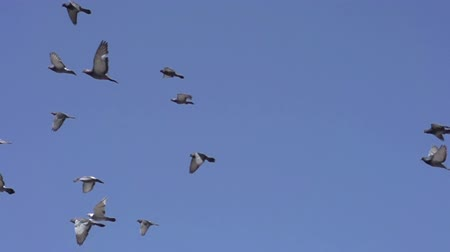 birds flying : Flock of birds flying left against the blue sky. Slow Motion at a rate of 480 fps