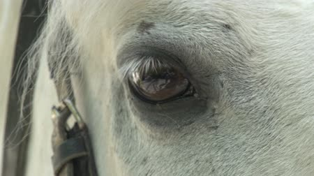 égua : White horse stares into the camera. Eyes close up
