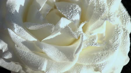 virginity : Rose closeup covered with water drops. Flower rotates slowly
