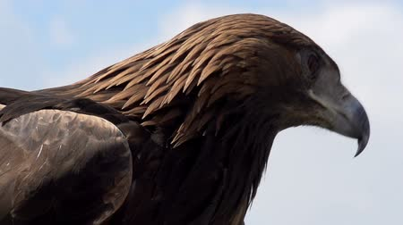 orel : Slow Motion at a rate of 240 fps. Golden eagle spread its wings and turned away from the camera on the background of cloudy sky