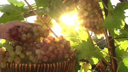 winnica : Basket with grapes on a background of the vineyard. Hand winegrower puts a bunch of grapes in a basket. Slow Motion at a rate of 240 fps Wideo