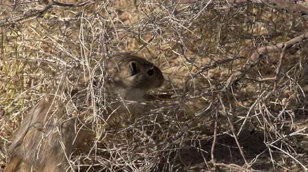 haloxylon : Gopher bite off the branches of desert vegetation.  Slow Motion at a rate of 240 fps