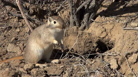 haloxylon : Ground squirrel standing on hind legs next to his burrow in anticipation of danger.  Slow Motion at a rate of 240 fps Stock Footage