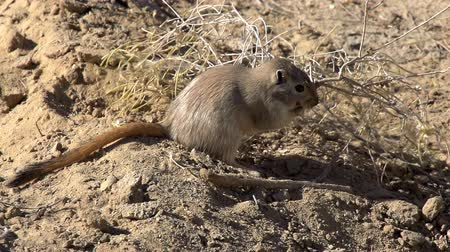 haloxylon : Gopher snaps twig haloxylon and drags to the burrow. Slow Motion at a rate of 240 fps