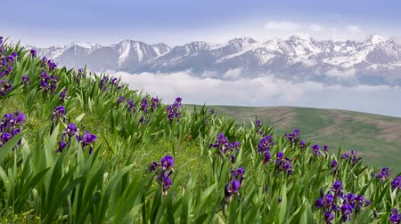 egyedülálló : Iris albertii Regel. Hill covered with flowering irises against a background of clouds and snow-capped peaks Stock mozgókép