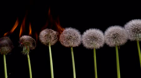 yanmak : Dandelions are ranked on a black background. According fluffy heads fire runs. 240 fps Slow Motion