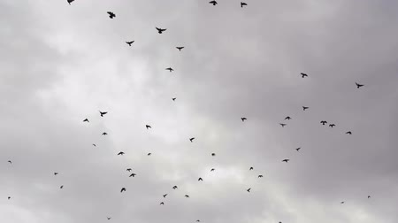 urban birds : Many birds on background cloudy sky. Slow Motion at a rate of 240 fps Stock Footage