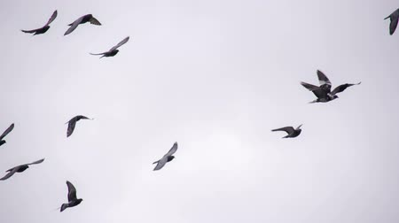 gołąb : Many birds on background cloudy sky. Slow Motion at a rate of 240 fps Wideo