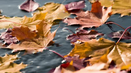 terracota : Autumn leaves fall on the clean surface of the water in the sun. Filmed at a speed of 240fps