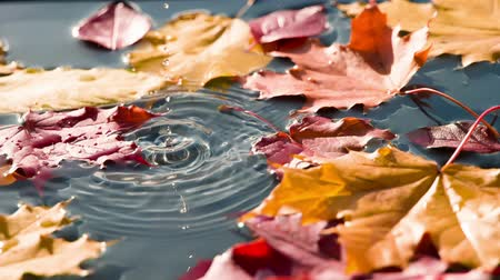 terrakotta : On the surface of the blue water are bright autumn leaves. Between maple leaves falling drop of pure water. Filmed at a speed of 240fps