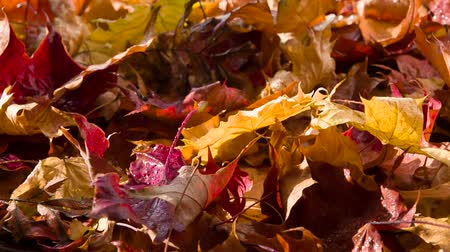 golden falls : Bright wet autumn leaves rotate in front of the camera in the sun Stock Footage