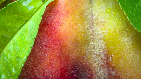 samet : Fresh Peach with Foliage. Peach closeup rotates in front of the lens. Its velvety surface is covered with small drops of water