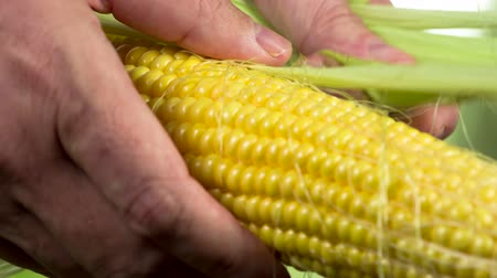 tereyağı : Peeled Corn on the Cob. Farmers hands tear off green leaves from the corn cob, revealing ripe grains