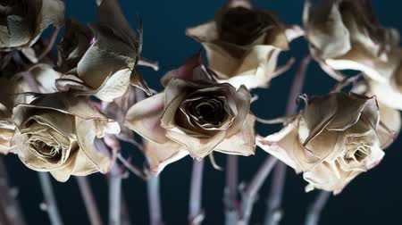 Dry Rosebud. Dry decolorized Rose buds moving slowly on the sad dark blue background