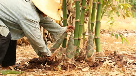 bambusz : Gardener woman cutting shoot of bamboo