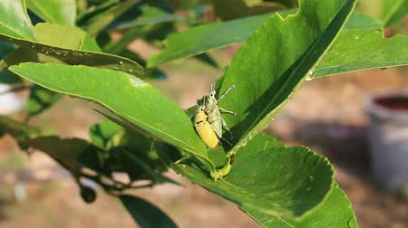 esverdeado : Green weevil on lemon tree