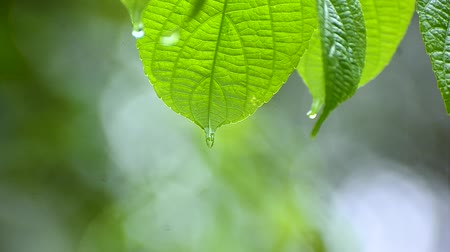 frescura : Rain falls on the moist leaves of plants in the rainy season Vídeos