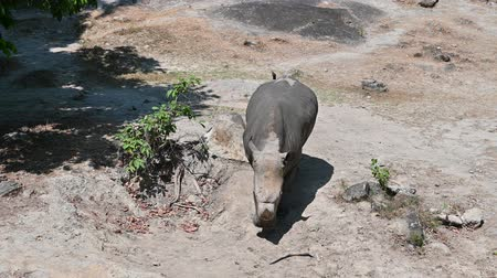 white elephant : The white rhino is walking in the forest. Stock Footage