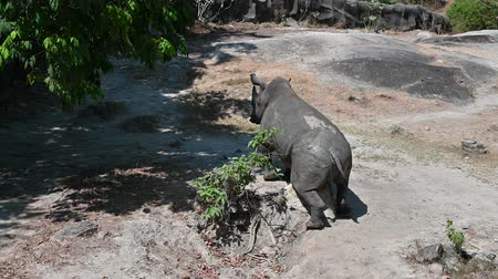 white rhino : The white rhino is walking in the forest. Stock Footage