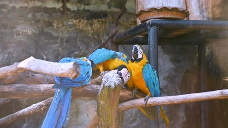 ara : The yellow parrot, the blue wing, is on three branches.