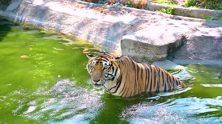 siberiano : The tiger is playing water, soaking the water to cool down in the swamp. VDO 4K