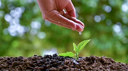 gota de chuva : Womens hands are watering the young plants, the concept of growth.