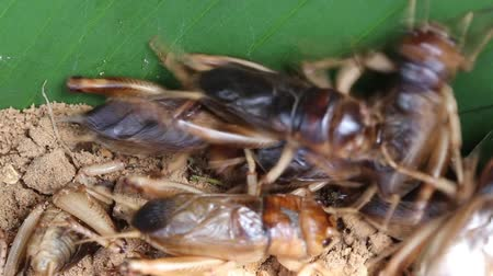 kriket : A close up group of cricket on soil