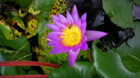 lilyum : Little bee or Apis Florea  sucking nectar from lotus pollen purple blooming in the pond.