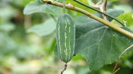 hera : Ivy Gourd (Coccinia grandis) raw green fruit on the vine, was shaken by the wind.
