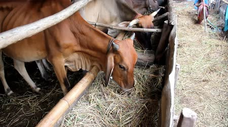 krowa : The cows are eating dry rice straw as a meal is in the cows stall. Wideo