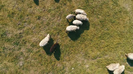 gaiola : Herd of sheep grazing on field, top view, aerial drone. Vídeos