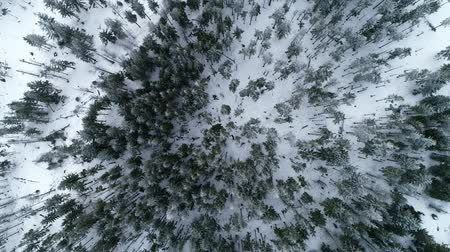 jodła : Aerial Top Down Flyover Shot of Winter Spruce and Pine Forest. Trees Covered with Snow.