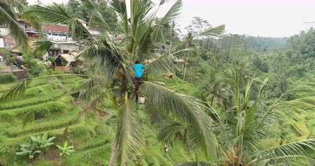 machete : Aerial shot of man harvesting coconut on the palm tree - October 2017: Tegallalang, Ubud, Bali, Indonesia