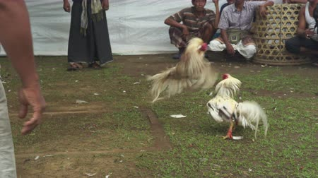 жестокий : Cock fight in an Asian village - October 2017: Sukawati, Bali, Indonesia
