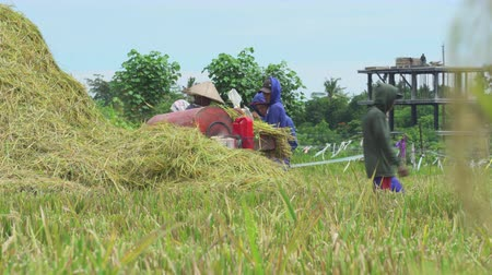 çuval : Group of farmer working on rice field. Thresh with threshing machine - October 2017: Ubud, Bali, Indonesia Stok Video