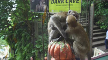 crab eating macaque : Crab-eating Macaque monkey fighting in Batu Caves - October 2017: Kuala Lumpur, Malaysia