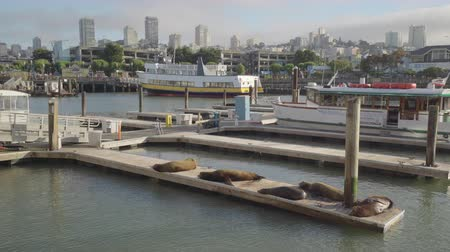 túmulo : Sea Lions in Pier 39 - August 2017: San Francisco, California, US