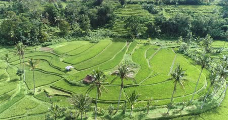 seedlings : Aerial view of rice terrace. Flight over of Jatiluwih rice field